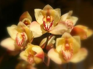 """""""Pele's Orchid,"""" photo by Kris Lockard"""