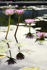 """Waikoloa Lily""  Photo by Kris Lockard"