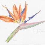 M Dilworth Bird of Paradise