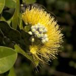Schaefer YellowOhia